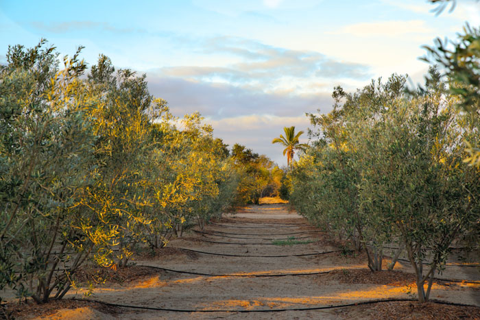 your olive groves